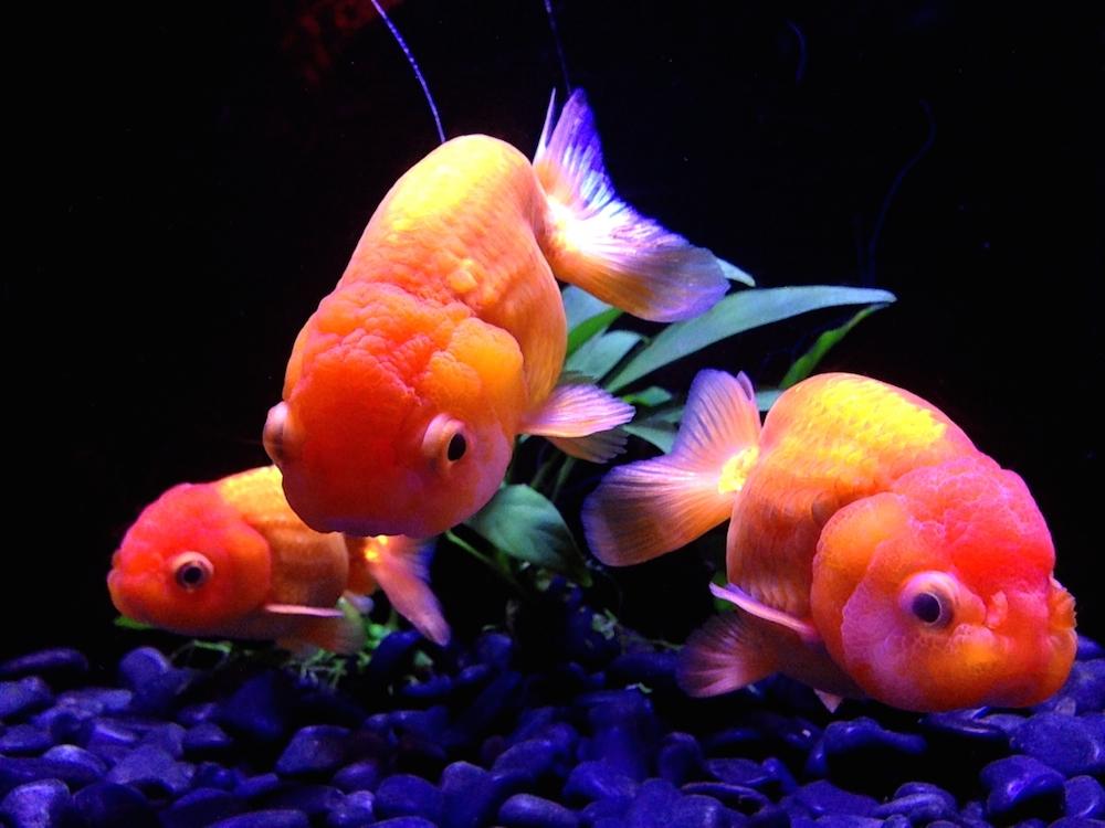 渋谷金魚 1巻 ネタバレ感想!【金魚鉢の中に渋谷と人間を入れてみた・・・】